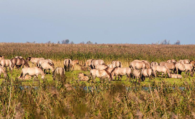 Wild horses in the Flevopolder in the Netherlands van Brian Morgan