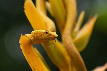 Gelbe Wimpernpalmen-Pitviper in Costa Rica von Mirjam Welleweerd