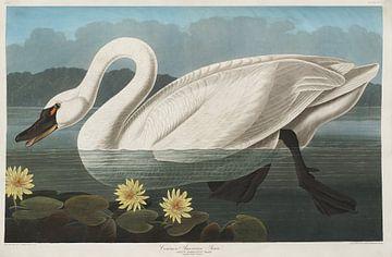 Tundra Swan - Teylers Edition -  Birds of America, John James Audubon von Teylers Museum