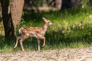 Bambi, junges Damwild von Peter Leenen