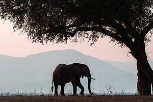 Olifant in Manapools (zimbabwe) van