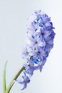 Hyacinth met waterdruppels