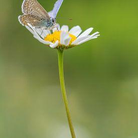 Icarusblauwtje op een wilde margriet van John van de Gazelle