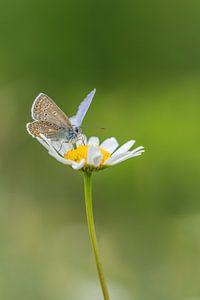 Ikarusblau auf einem wilden Gänseblümchen