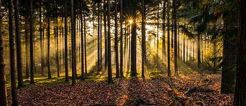 Herperduinen gouden zon door bos