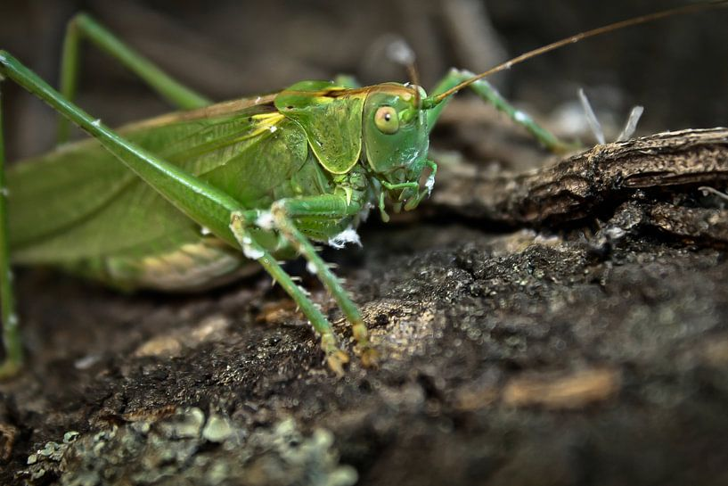 Great Green Bushcricket van BL Photography