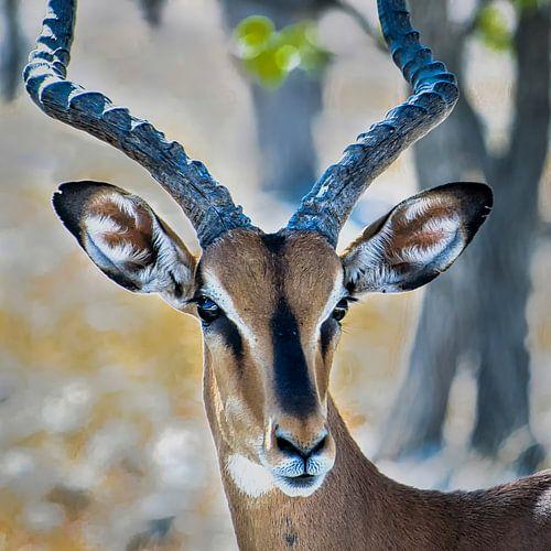 Zwartkop Impala in Etosha Nationaal Park, Namibie