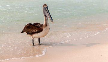 Bruine pelikaan van Maarten Verhees