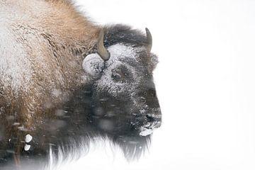 American Bison ( Bison bison ) in winter, headshot van wunderbare Erde
