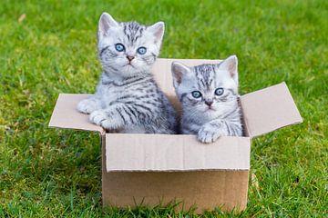 Jonge katten in kartonnen doos op gras van Ben Schonewille