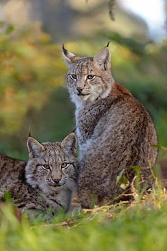 Luchs ( Lynx lynx ), Doppelporträt  unserer größten heimischen Raubkatze in schönster Umgebung, Euro von wunderbare Erde