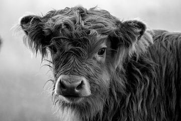 Schottisches Highlander-Kalb auf Veluwezoom in Schwarz und Weiß von CMphotos