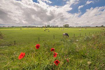 Koeien en klaprozen bij De Marsch (molen) Lienden van Moetwil en van Dijk - Fotografie