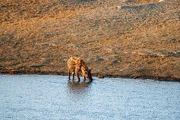 Hyäne löscht den Durst von Merijn Loch