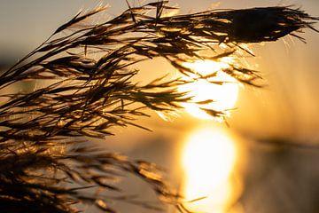 Sonnenuntergang von und Schilfrohrfahne von thomas van der Wijngaard