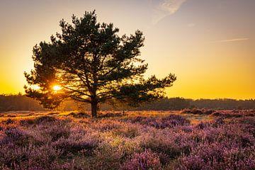 Bloeiende heide bij de Veluwe tijdens zonsondergang