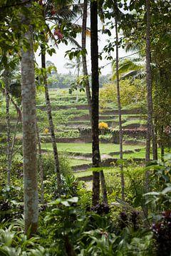 Reisfelder Java von Kees van Dun