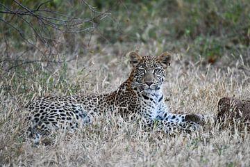 Leopard im Gras von Robert Styppa