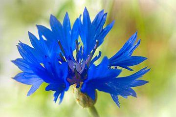 Blauw korenbloempje van Rietje Bulthuis
