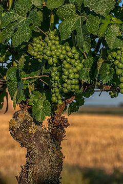 Vine van Thomas Heitz