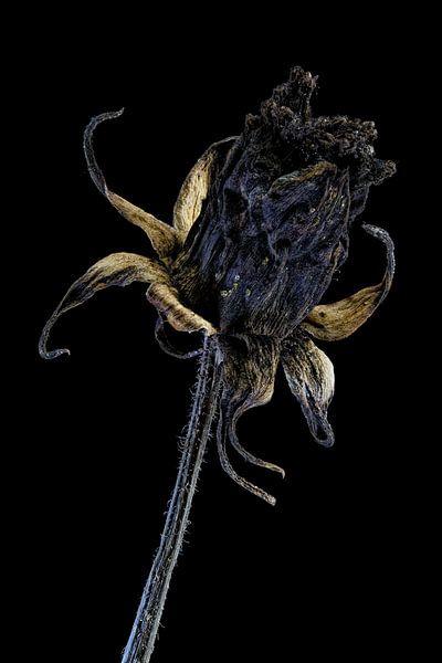 Upcycled Beauty - cosmea - Cosmos bipinnatus - van Christophe Fruyt