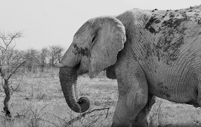 Vieil éléphant sur Inge Hogenbijl