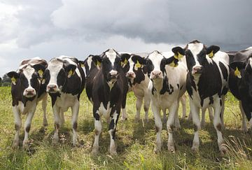 Koeien van frans bouwmeester