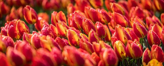 Oranje Rode Tulpen na een hagelbui van Alex Hiemstra