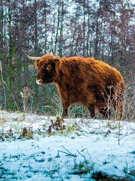 Highland Cow - Schotse Hooglander van Rene de Nooijer