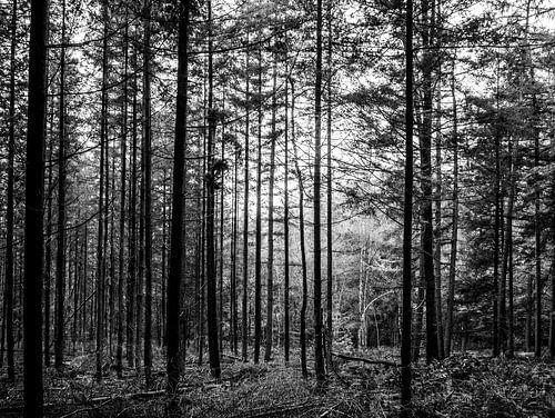 Rechte bomen in bos zwart wit
