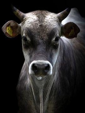 Vache Jersey
