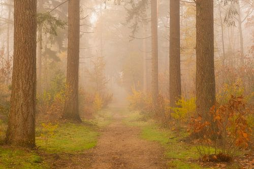 Pad door een mistig dennenbos