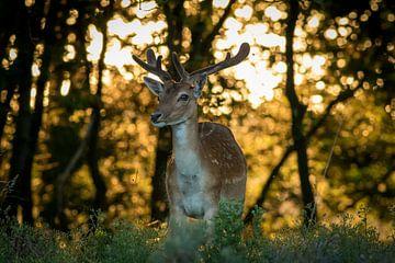 Damhert in bos bij avondzon van Marcel Alsemgeest