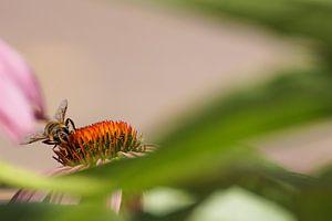 Honingbij op roze zonnehoed van Sandra van Kampen