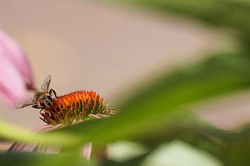 Honingbij op roze zonnehoed von Sandra van Kampen