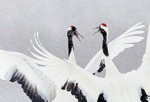 Dansende Chinese Kraanvogels in de sneeuw
