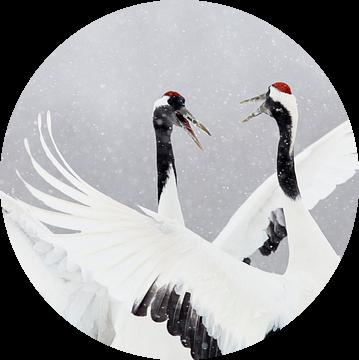 Dansende Chinese Kraanvogels in de sneeuw van AGAMI Photo Agency
