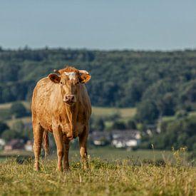 Nieuwsgierig rund in Zuid-Limburg van John Kreukniet