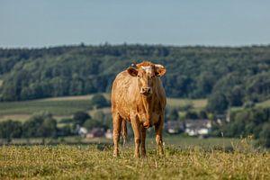 Kurioses Vieh in Süd-Limburg von John Kreukniet