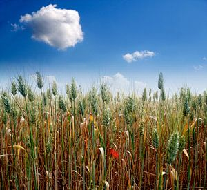 Champ de blé van