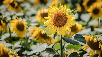 Helder gele zonnebloemen in akkerbouwveld van