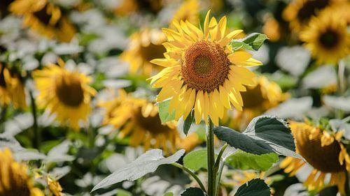 Helder gele zonnebloemen in akkerbouwveld