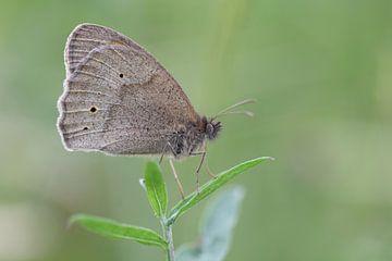brauner Schmetterling von sandra veenman