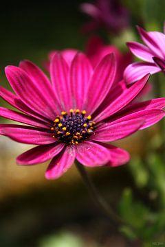 pink cape daisy van