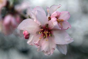 Mandelblüte in Andalusien von jan katuin