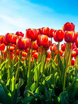 Close-up van rode tulpen tegen een blauwe lucht van Ruurd Dankloff