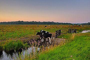 Koeien bij het Naardermeer van