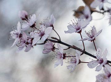 Blüten von Ronenvief