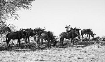 Wildebeest Familie von Joris Pannemans - Loris Photography