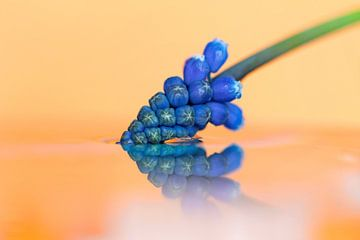 Ein Makroporträt einer blauen Traubenhyazinthe und ihrer Reflexion auf orangefarbenem Hintergrund, d von Joeri Mostmans